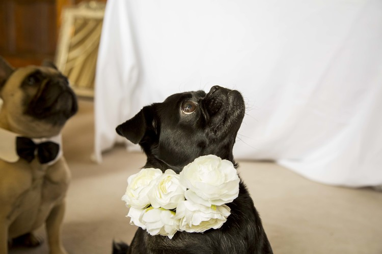 Pugs at weddings flower collars